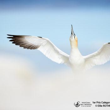 Gannet levant les nuages ©Ellie ROTHNIE (Grande-Bretagne)